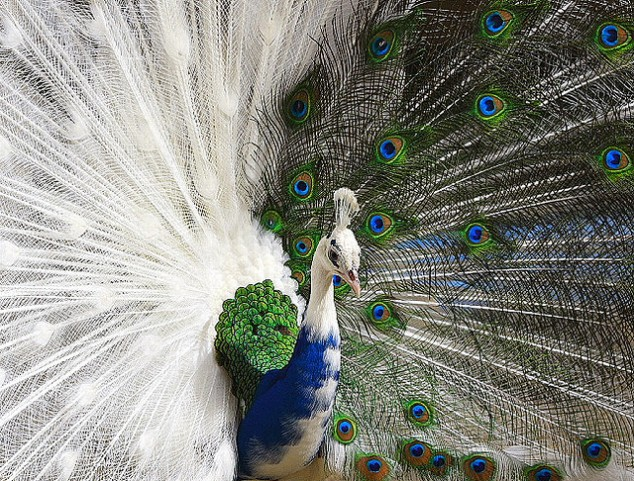 Peacock-with-a-half-white-plume-634x481