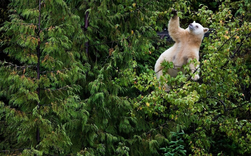 Bear-Forest-Trees-Walk