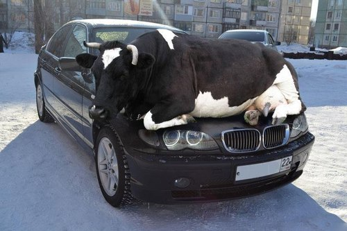 cow-on-car