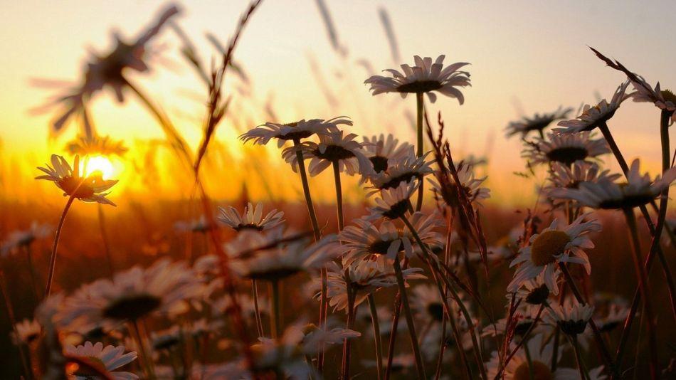 daisy_flowers_at_sun_set_67_1366x768
