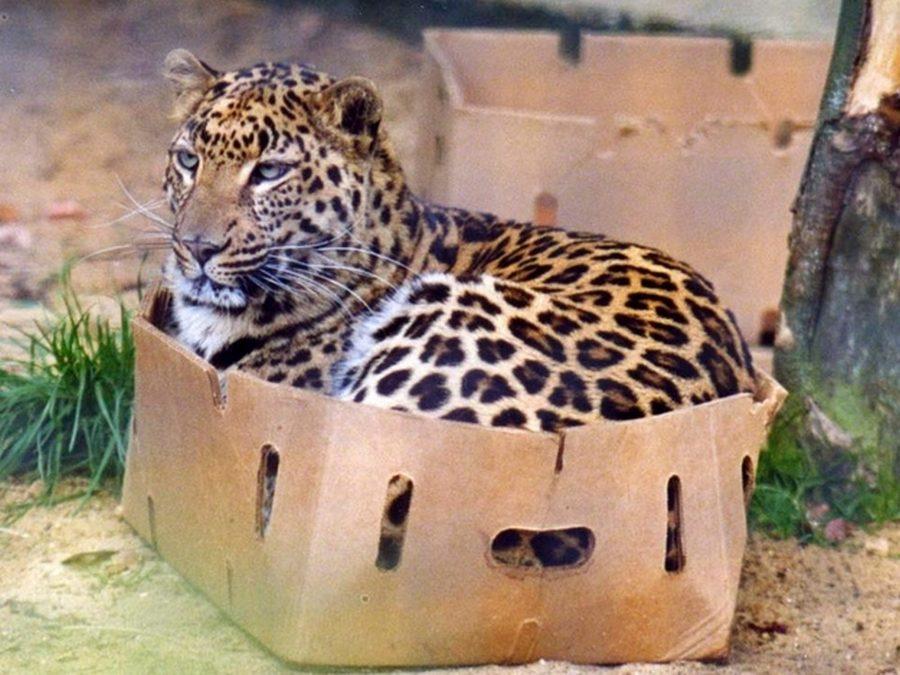 wild_cat_and_box