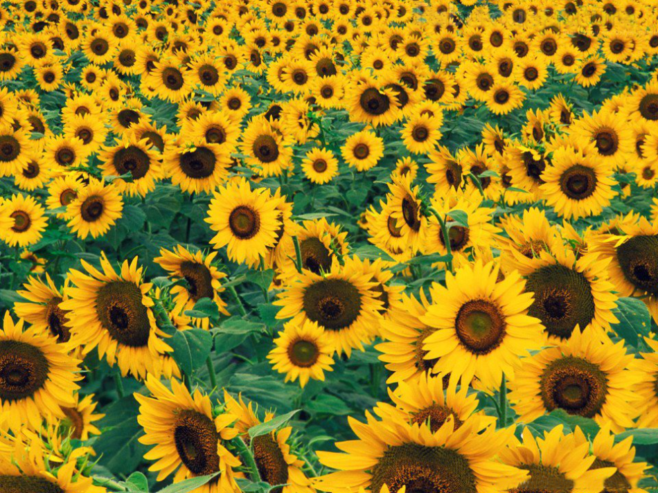 960x720xSunflower,P20Field.jpg.pagespeed.ic.R3rqRxSips