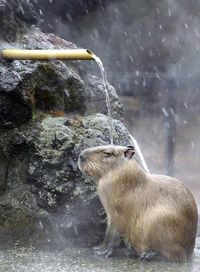 A-capybara--019