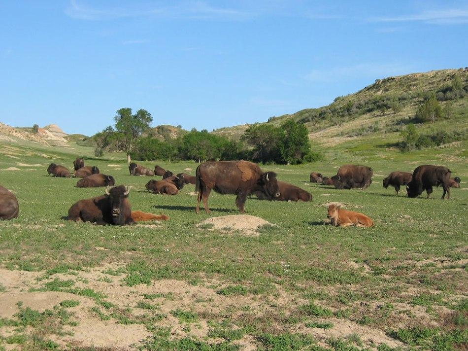 Oh-give-me-a-home-where-the-buffalo-roam-.-.-.-TRNP