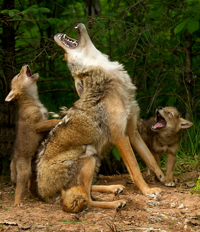 Baby Coyotes Learn How to Howl