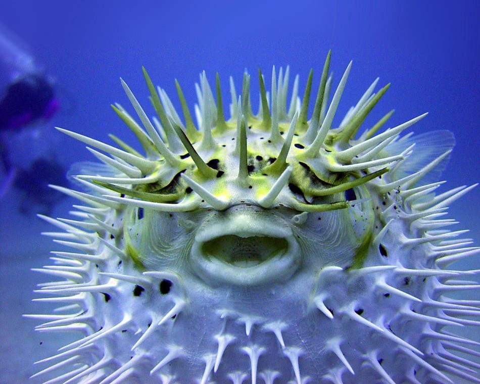 blow-fish