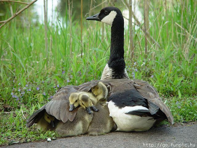 goose_ducks