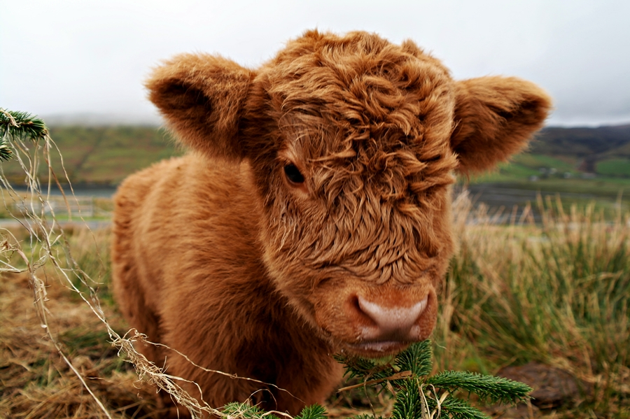 Cute-Highland-Cow