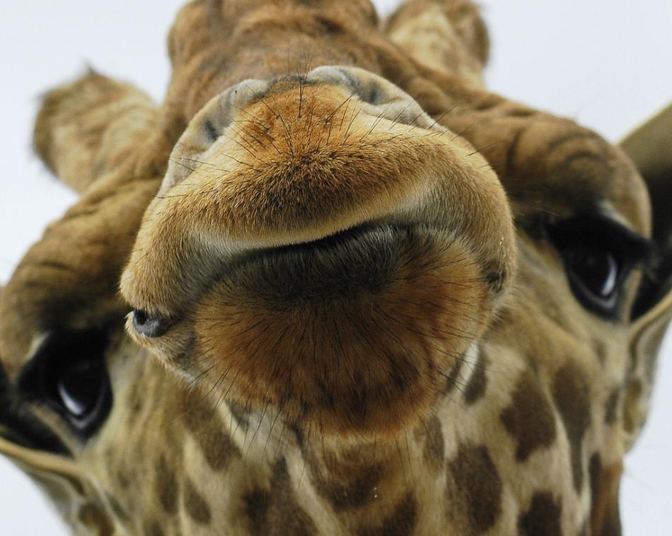 animal-picture-giraffe-ucumari