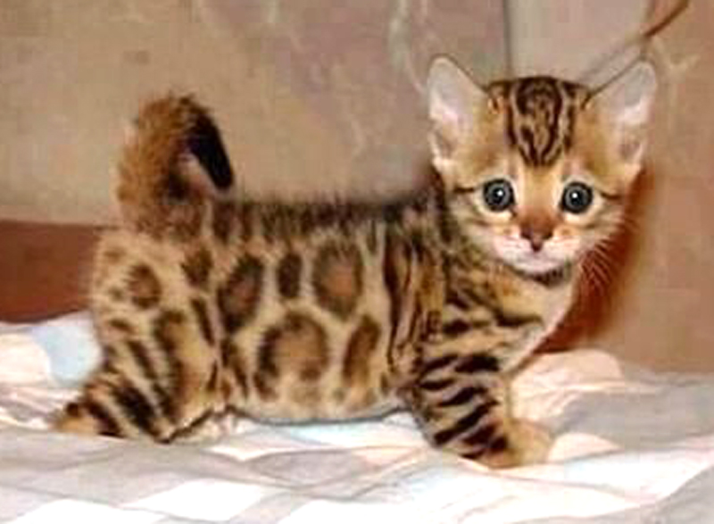 asian-leopard-kitten