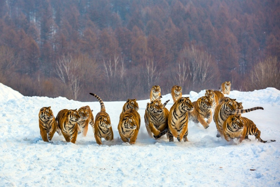 group-of-tigers-feeding-1