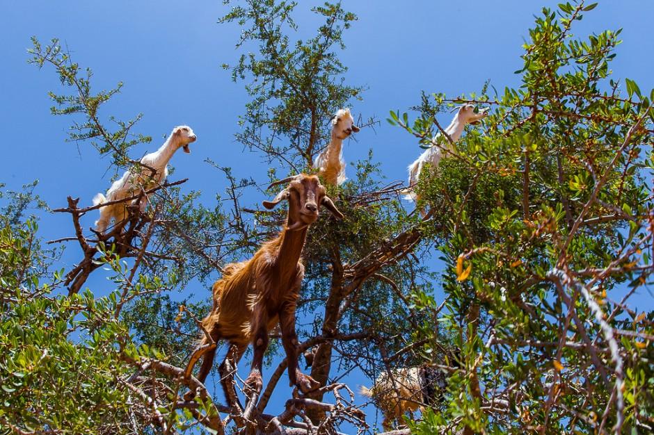 morocco-goats-matador-seo-940x626