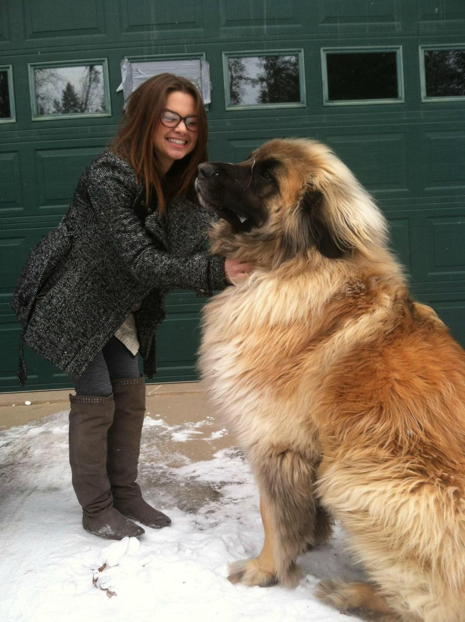 Simba. He's a Leonberger.