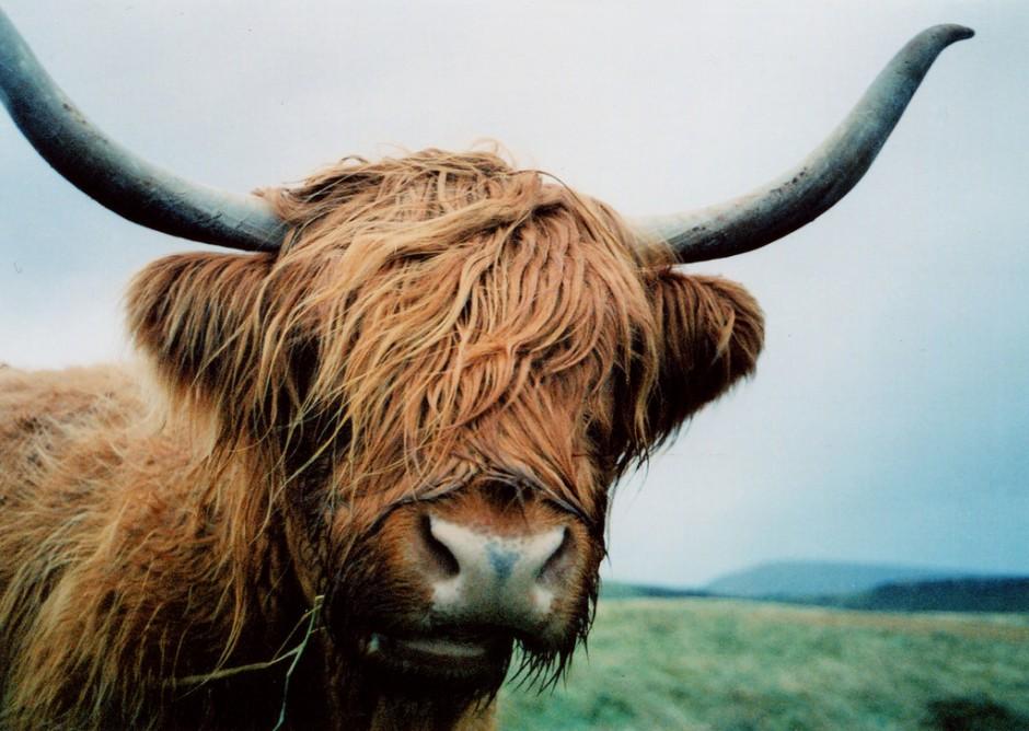 highland-cattle-matador-seo-940x668